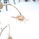 Frozen Faded Roses by Anna Reinalda