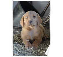 Yellow Labrador Puppy Poster