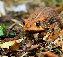 Wakey~Wakey Bright Eyes : Bufo americanus by Trina King