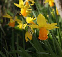 daffodil by Danny Kenealy