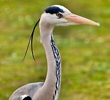 Grey Heron (HDR) by JLaverty