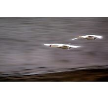 Swans on the River Itchen Photographic Print