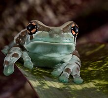 Amazon Milk Frog by Val Saxby