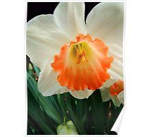 Daffodil © Poster