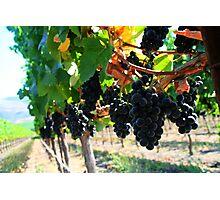 Fiddlestix Vineyard Photographic Print
