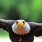 bald eagle by neil harrison