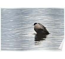 Eurasian Coot Flapping Poster