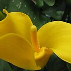 Golden Calla Lily - Macro Untouched by BlueMoonRose