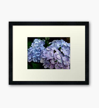 Hydrangeas, Blue and Lavender Framed Print