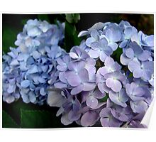 Hydrangeas, Blue and Lavender Poster