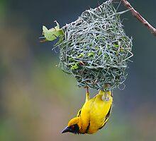 Village Weaver by naturalnomad