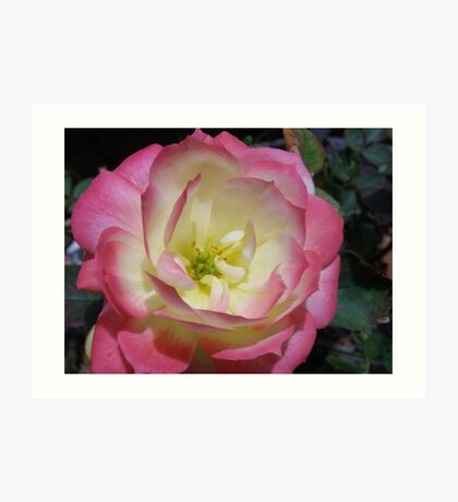Miniature Cameleon Rose in it's pink form. Macro Art Print