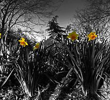 Daffs in grey  by Rob Hawkins
