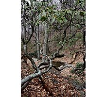 Cold Spring Twisted Mountain Laurel Photographic Print