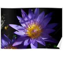 Purple Cape Water Lily Poster