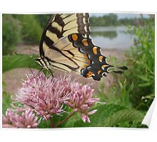 Tiger Swallowtail on Milkweed Poster