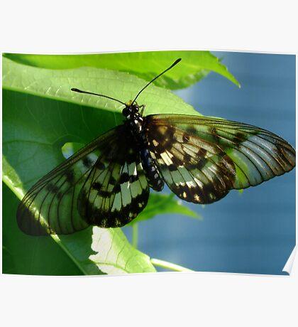Glasswing Acraea andromacha Poster