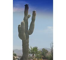 Saguaro cactus in bloom Photographic Print