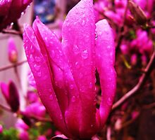 A Magnolia Bloom After the Storm by Charldia