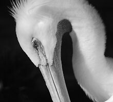 Potrait of a Pelican in B/W by Mattie Bryant
