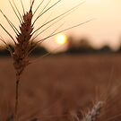 Barley Holding the Sun - Bucks County, PA by Anna Lisa Yoder