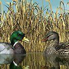 Male and Female Mallard Ducks by Walter Colvin