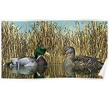 Male and Female Mallard Ducks Poster