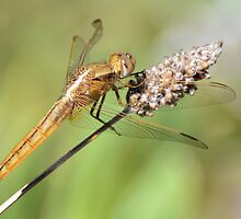 1st Prize Dragon Fly by DeoVolente (Dewahl Visser)