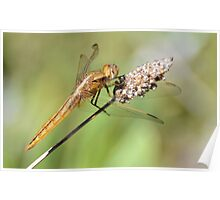 1st Prize Dragon Fly Poster