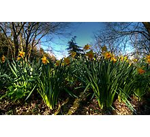 Daffs in Wilts Photographic Print