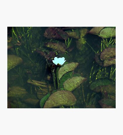 Water Lily, Margaret River Photographic Print