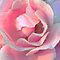A Birthday Rose by micklyn