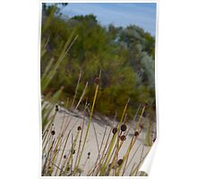 Isolepis in the Pondalowie dunes Poster