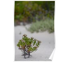 Mountain Daisy in the sand Poster