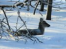 A Deer Relaxing in the Snowy Forest by Barberelli