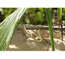 Vine Snake on the Defensive Photographic Print