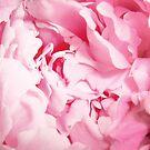Pink Peony Rose Closeup by cearanissa