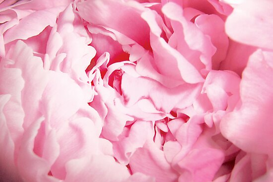 Pink Peony Rose Closeup by cearanissa