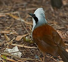 White Crested Laughingthrush by Winston D. Munnings