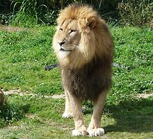 King of the jungle by DashTravels