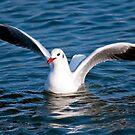 Gull in the water (Larus ridibundus) by Dfilyagin