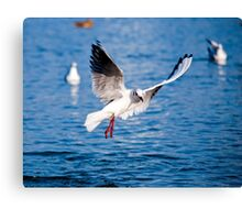 Gull in the air above the water (Larus ridibundus) Canvas Print