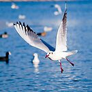 Gull in the air above the water (Larus ridibundus) by Dfilyagin