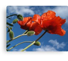 Red Poppies in Spring - Quakertown, PA Canvas Print