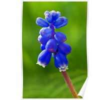 Grape Hyacinths Poster