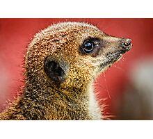Portrait of a Meerkat  Photographic Print