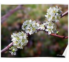 Plum Tree Blossoms - White Spring Blooms Poster