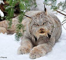 Canada Lynx by Nancy Barrett