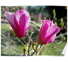 Tulip Tree Blossoms - Welcoming Spring Sun Poster