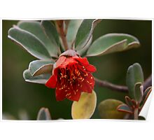 Diplolaena grandiflora Poster